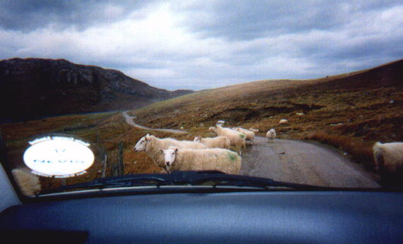 The sheep seem to have the right of way